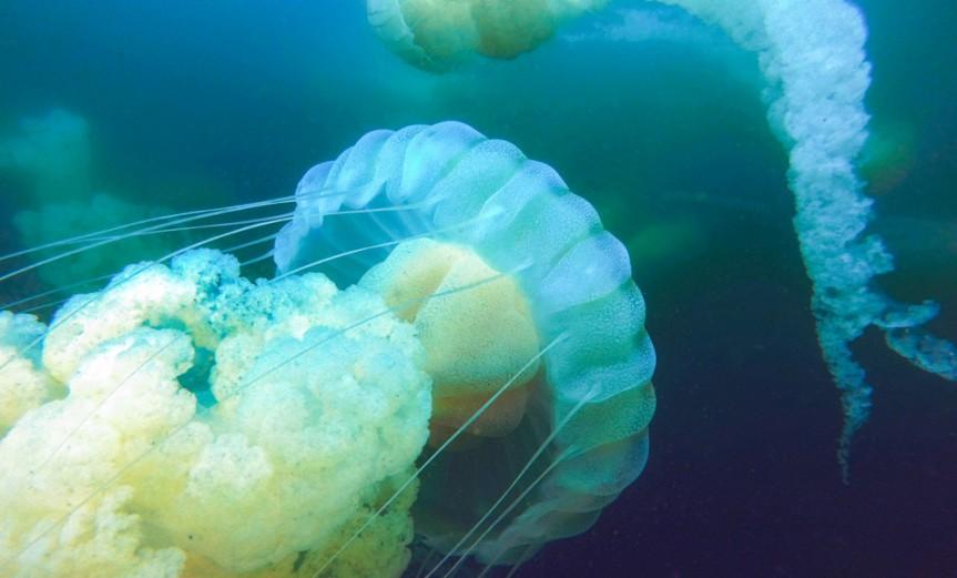 Medusa-Pichidangui