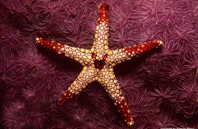 estrellaii